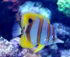 Reef Dweller