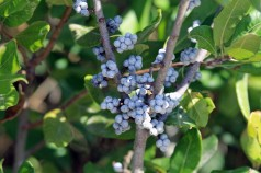 Bayberries-Wells Estuarine Research Reserve
