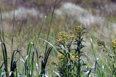 Butterfly on Goldenrod-Rachel Carson Refuge