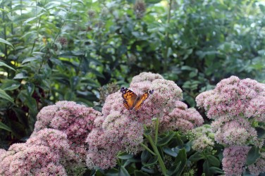 Butterfly on Sedum-Perkins Cove