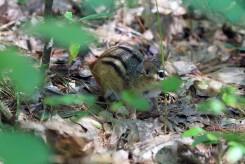 Chipmunk-Rachel Carson Refuge