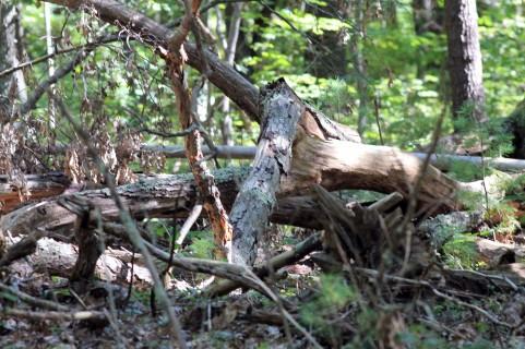 Dead Wood-Rachel Carson Refuge