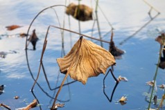 Dried Lotus Blossom 1