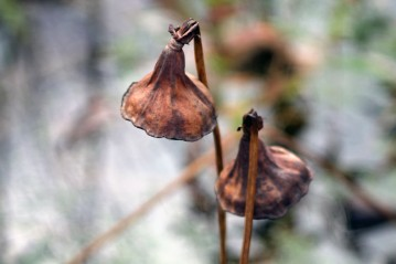 Dried Lotus Blossoms 4