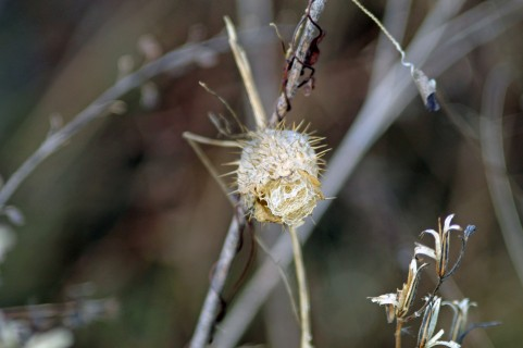 Dried Wild Cucumber Vine