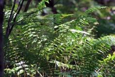 Ferns 3-Rachel Carson Refuge