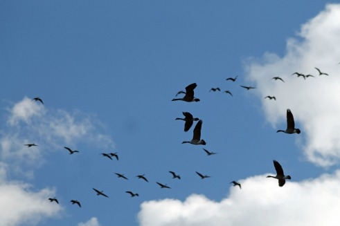 Geese in Flight 3