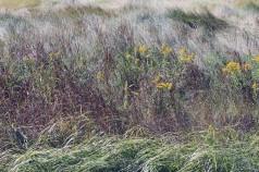 Goldenrod-Rachel Carson Refuge
