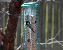 Hungry Chicadee