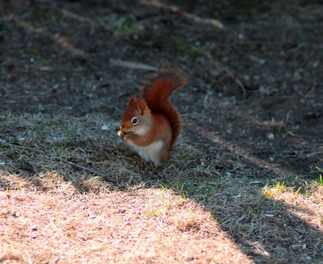 Hungry Red Squirrel