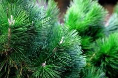 Thunder Pine