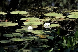Water Lilies in Watercolor-Ipswich Audubon