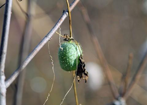 Wild Cucumber Vine