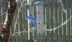 Blue Jays Escape