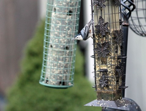 Feeding Nuthatch