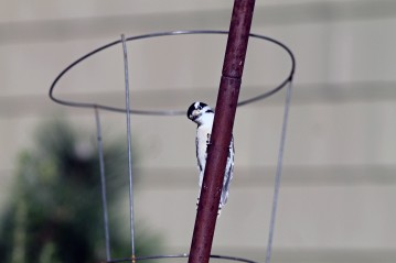 Female Downey Woodpecker 3