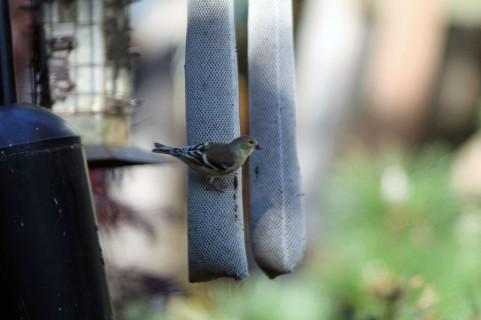 Finch 6