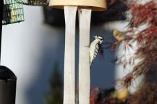 Male Downey Woodpecker 2