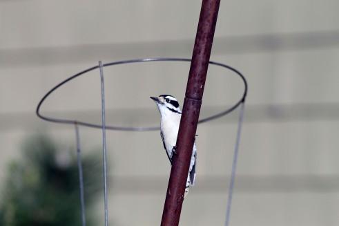 Male Downey Woodpecker 3