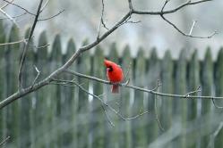 Perching Cardinal