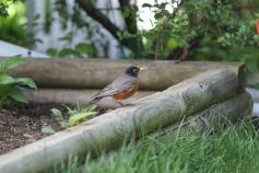 The Robin Returns