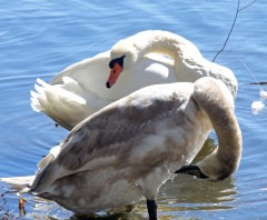 The Swans 1