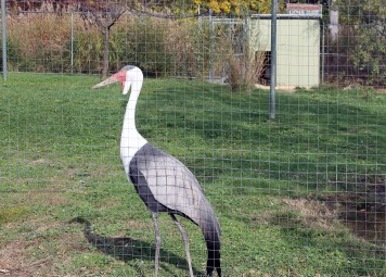 Wattle Neck Stork 2
