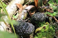 Black Truffles-Wells Estuarine Research Reserve
