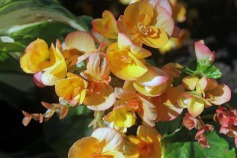 Yellow Begonias-Perkins Cove