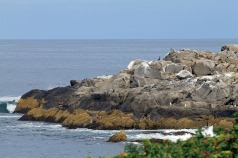Distant Cormorants-Nubble Light