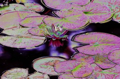Pink Water Lily 1-Solarized