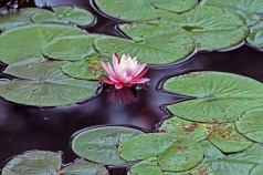 Pink Water Lily 1