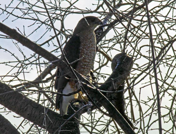 Peregrine Falcon, Four