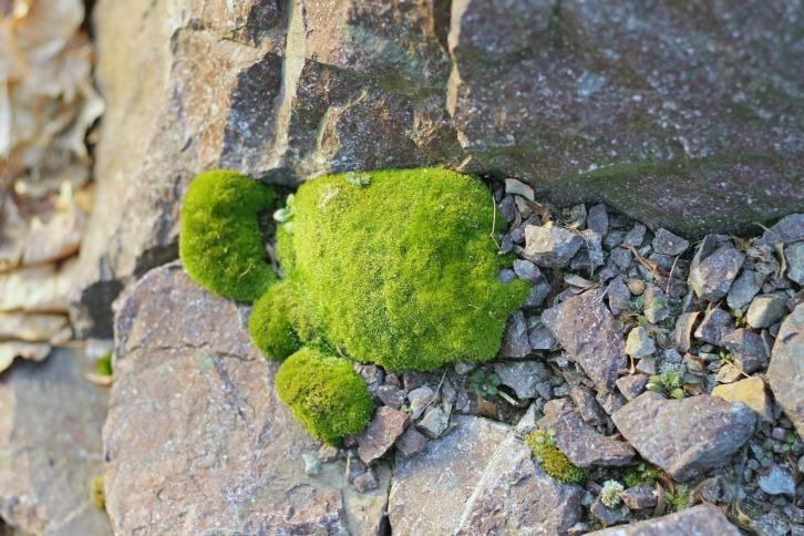 Spot Pond Moss