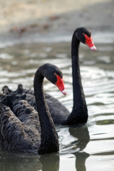 Black Swans 4