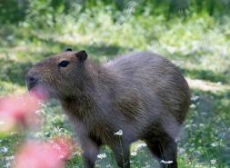 Capybarra 1