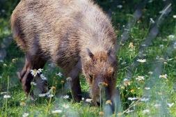 Capybarra 2