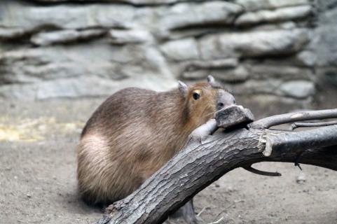 Capybarra