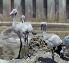 Flamingo Babies