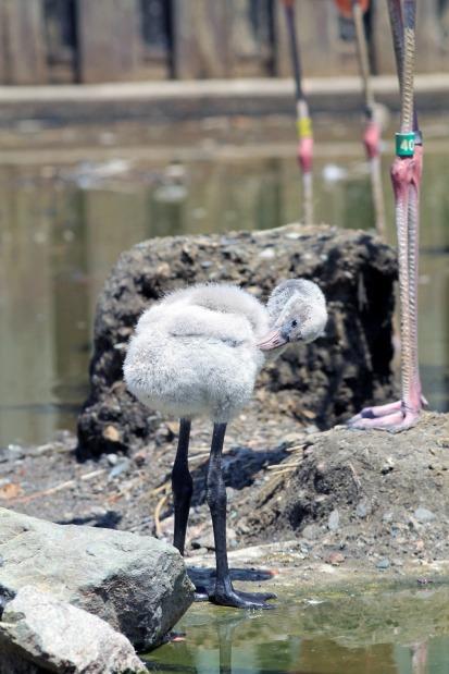 Flamingo Baby 2