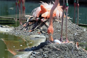 Flamingo Tending Egg 1