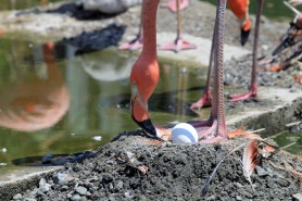 Flamingo Tending Egg 2