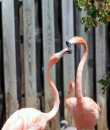 Flamingos Head to Head