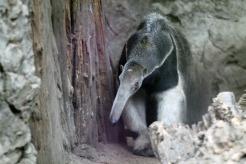 Giant Anteater 2