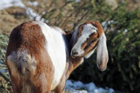 Goat at Nevins 1
