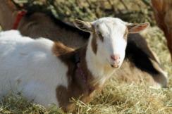 Goat at Nevins 2
