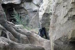 Gorillas 5