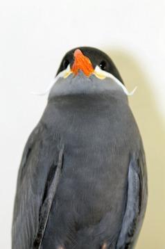 Inca Tern 2