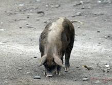 Lone Pig