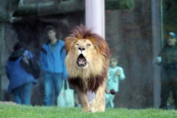 The Lion 3